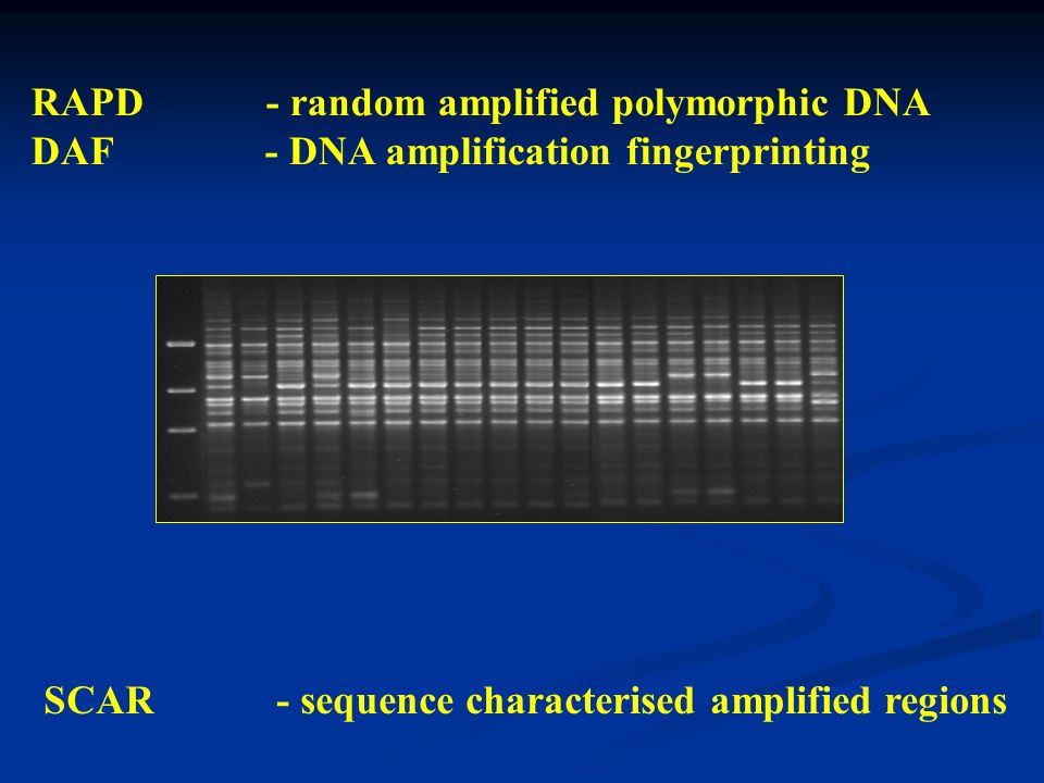 RAPD - random amplified polymorphic DNA