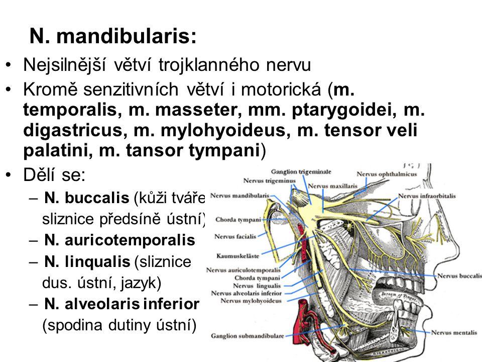 N. mandibularis: Nejsilnější větví trojklanného nervu