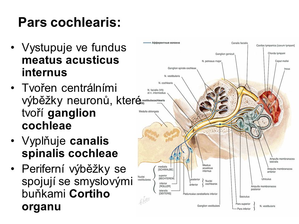Pars cochlearis: Vystupuje ve fundus meatus acusticus internus
