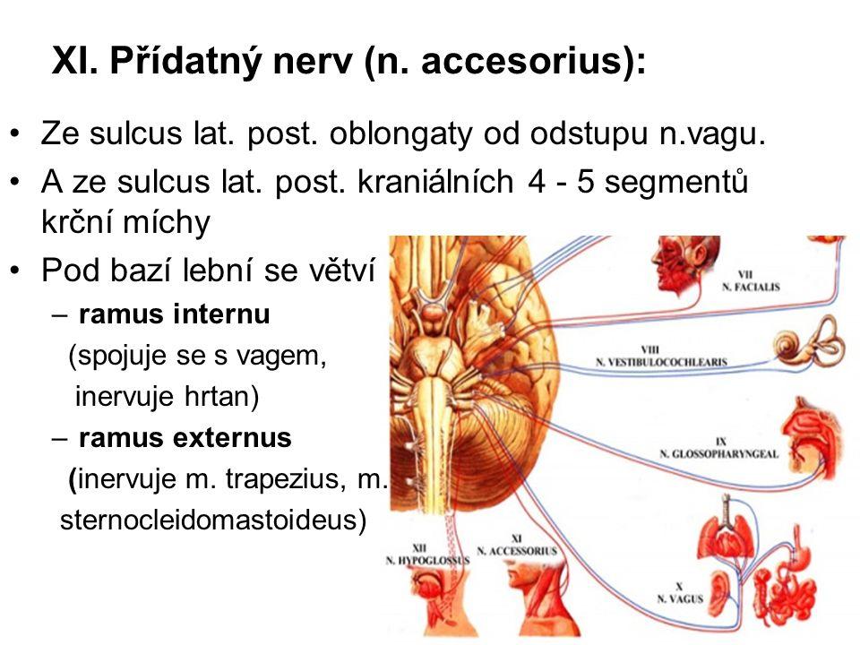XI. Přídatný nerv (n. accesorius):
