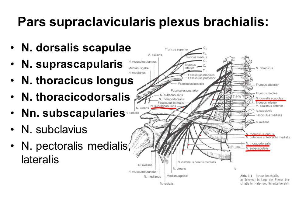 Pars supraclavicularis plexus brachialis: