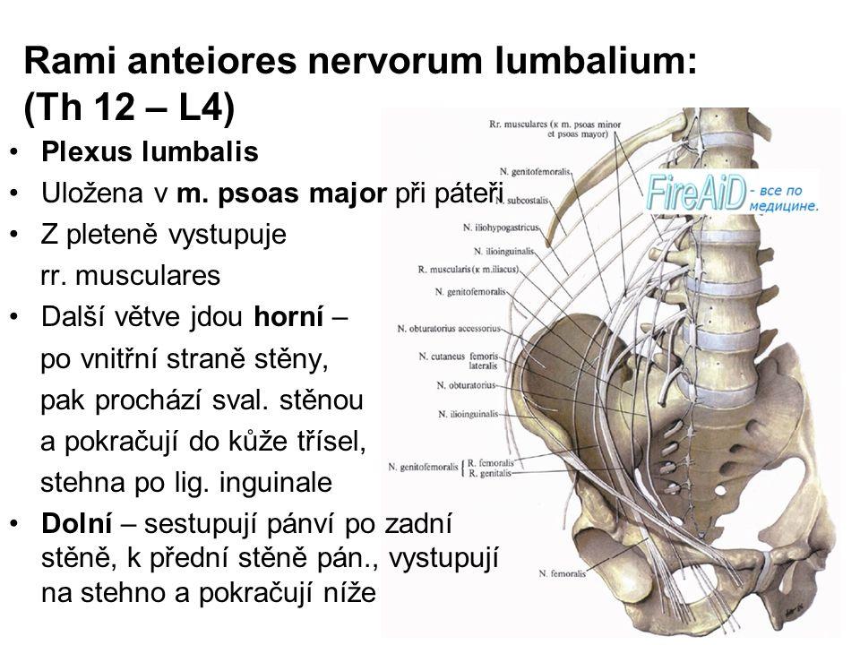 Rami anteiores nervorum lumbalium: (Th 12 – L4)