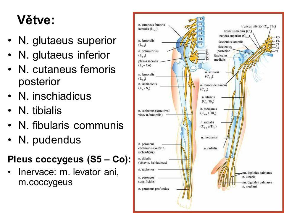 Větve: N. glutaeus superior N. glutaeus inferior