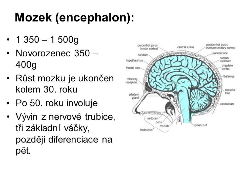 Mozek (encephalon): 1 350 – 1 500g Novorozenec 350 – 400g