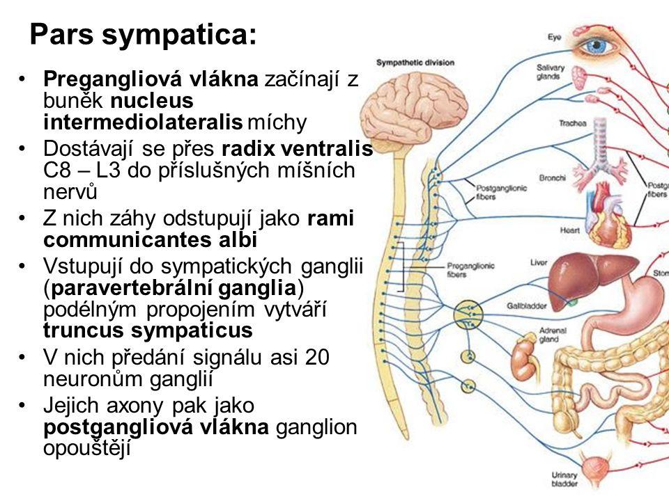 Pars sympatica: Pregangliová vlákna začínají z buněk nucleus intermediolateralis míchy.
