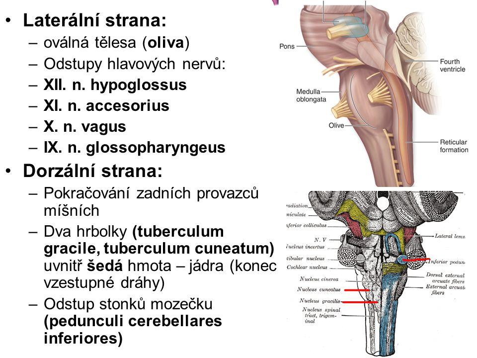 Laterální strana: Dorzální strana: oválná tělesa (oliva)