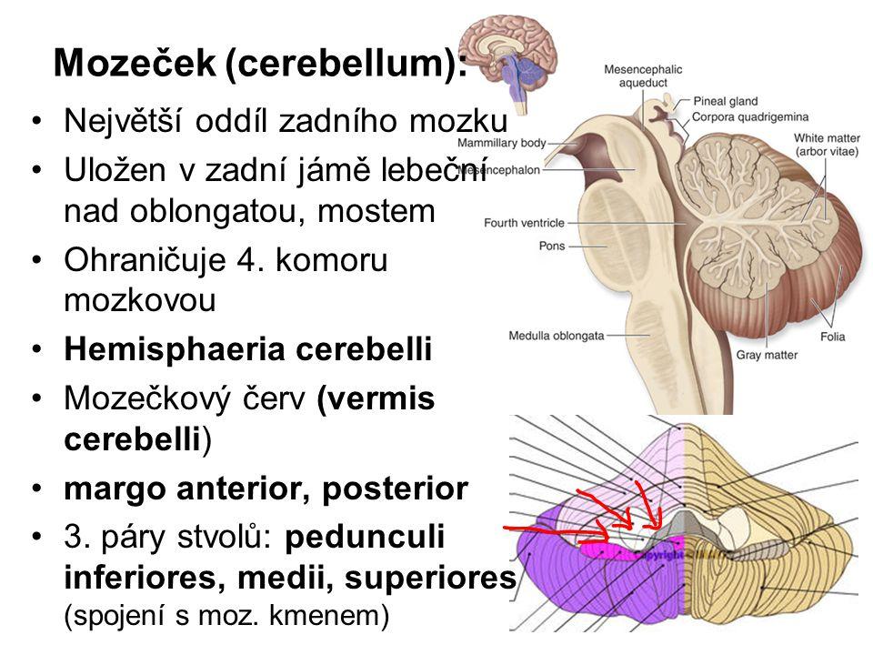 Mozeček (cerebellum):