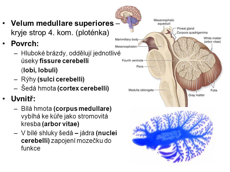 Velum medullare superiores – kryje strop 4. kom. (ploténka) Povrch: