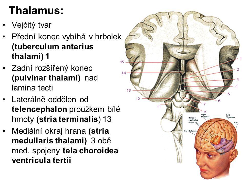 Thalamus: Vejčitý tvar
