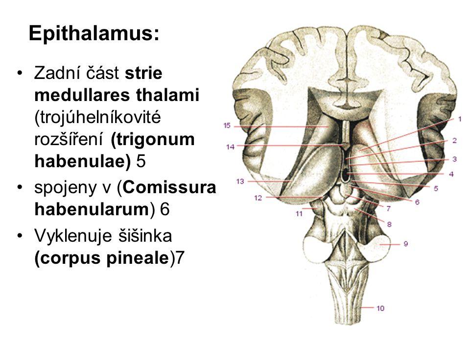 Epithalamus: Zadní část strie medullares thalami (trojúhelníkovité rozšíření (trigonum habenulae) 5.