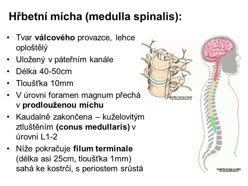 Hřbetní mícha (medulla spinalis):