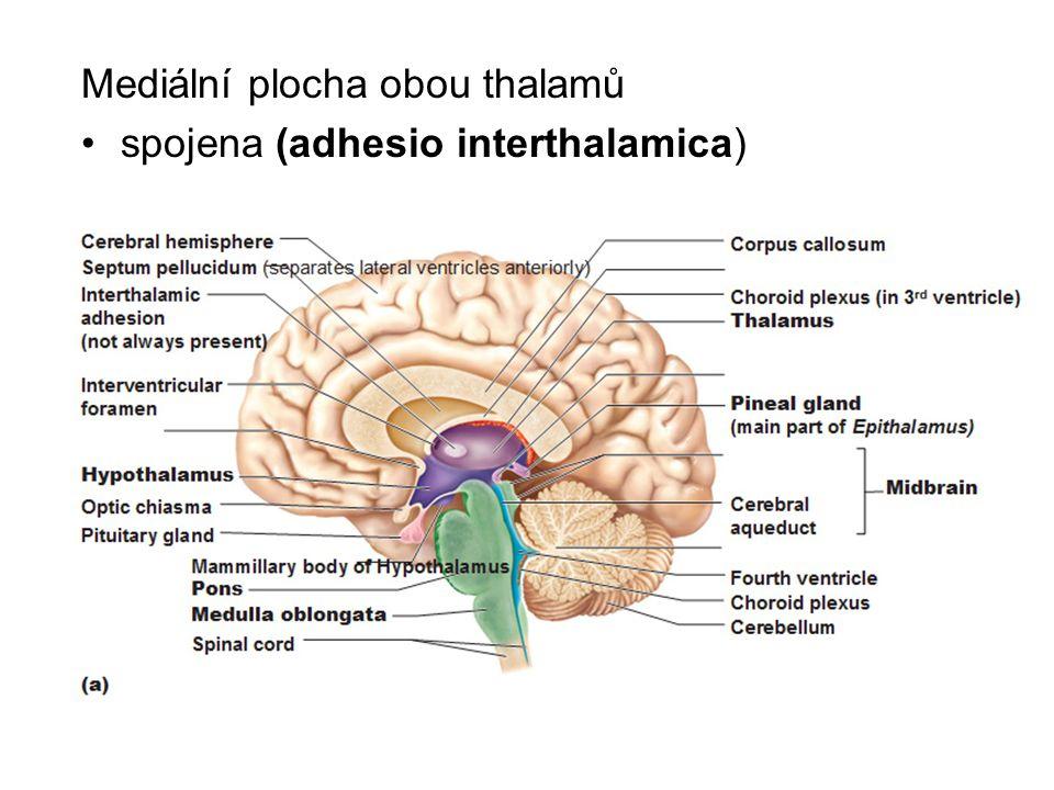 Mediální plocha obou thalamů