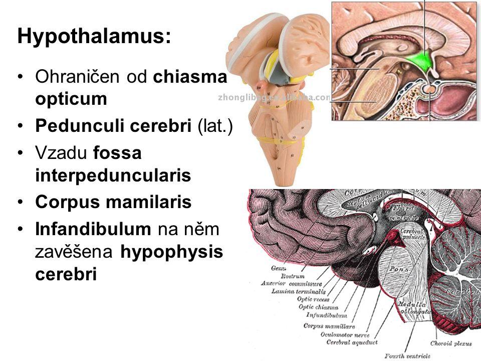 Hypothalamus: Ohraničen od chiasma opticum Pedunculi cerebri (lat.)