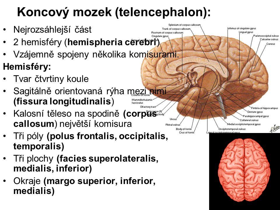 Koncový mozek (telencephalon):