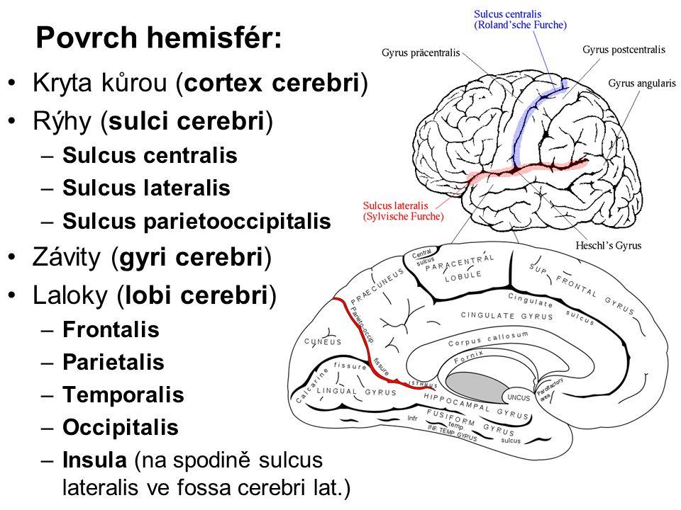 Povrch hemisfér: Kryta kůrou (cortex cerebri) Rýhy (sulci cerebri)