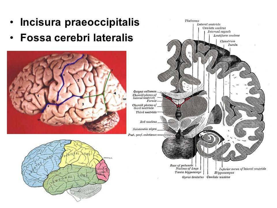 Incisura praeoccipitalis
