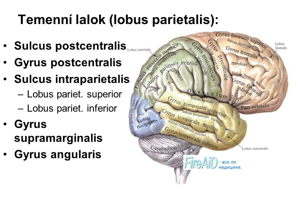 Temenní lalok (lobus parietalis):