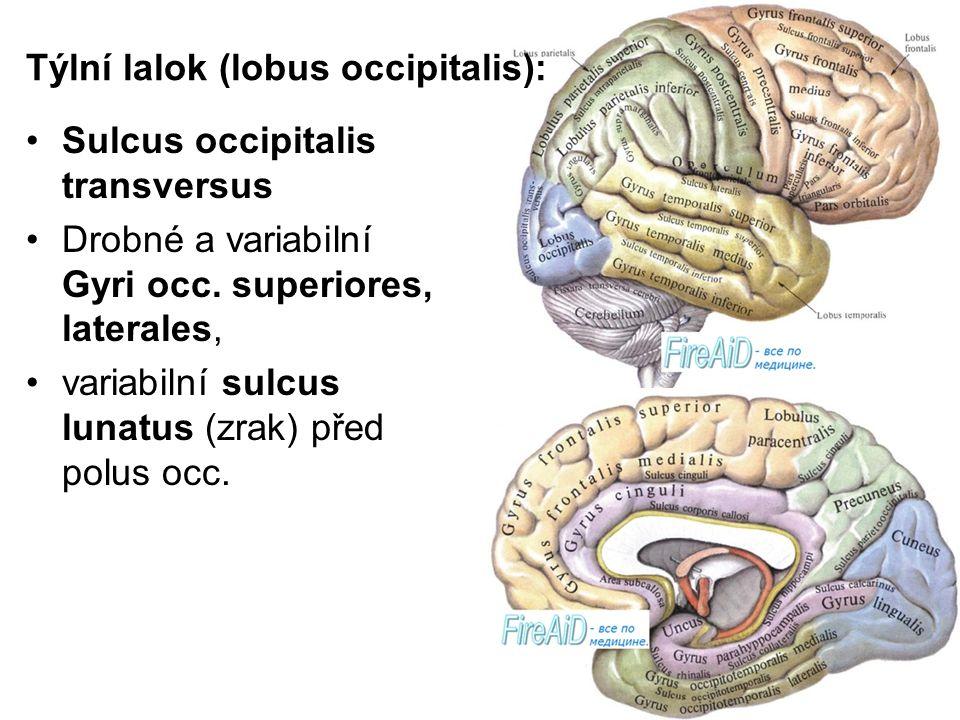 Týlní lalok (lobus occipitalis):