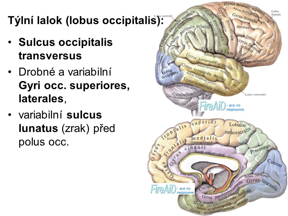 Großzügig Sulcus Cinguli Fotos - Anatomie Ideen - finotti.info