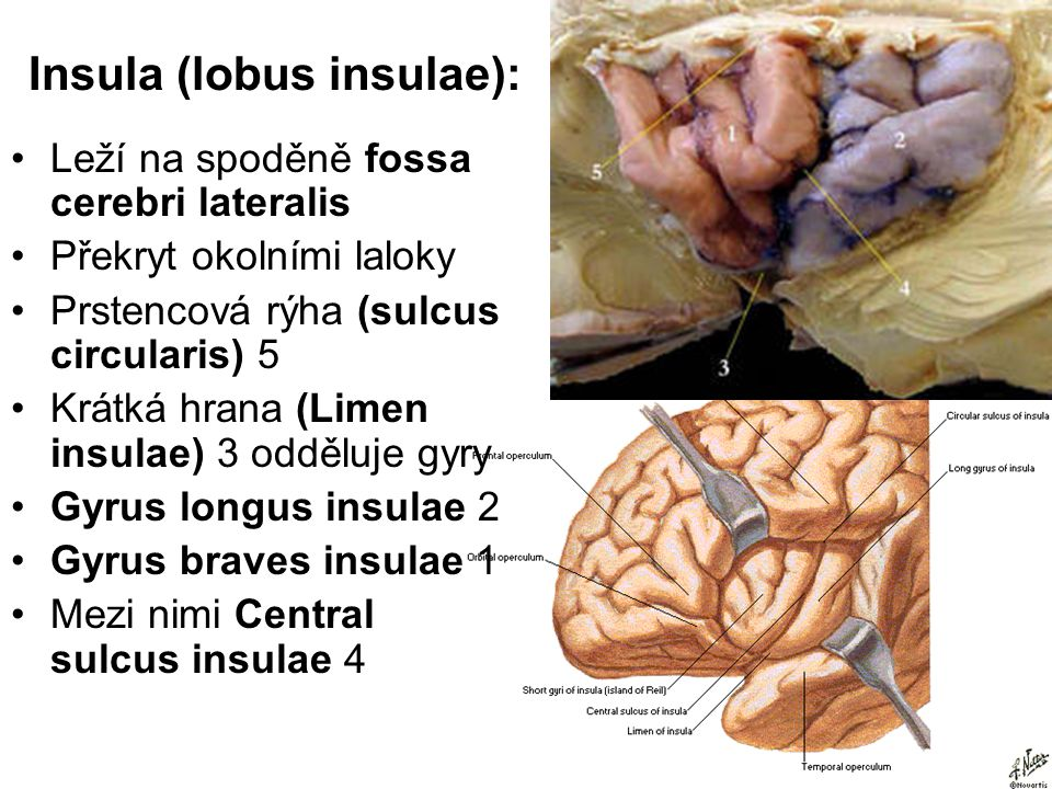 Insula (lobus insulae):
