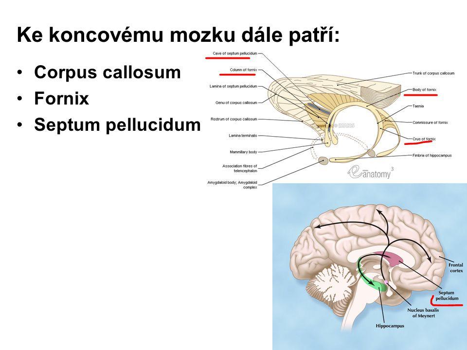 Ke koncovému mozku dále patří: