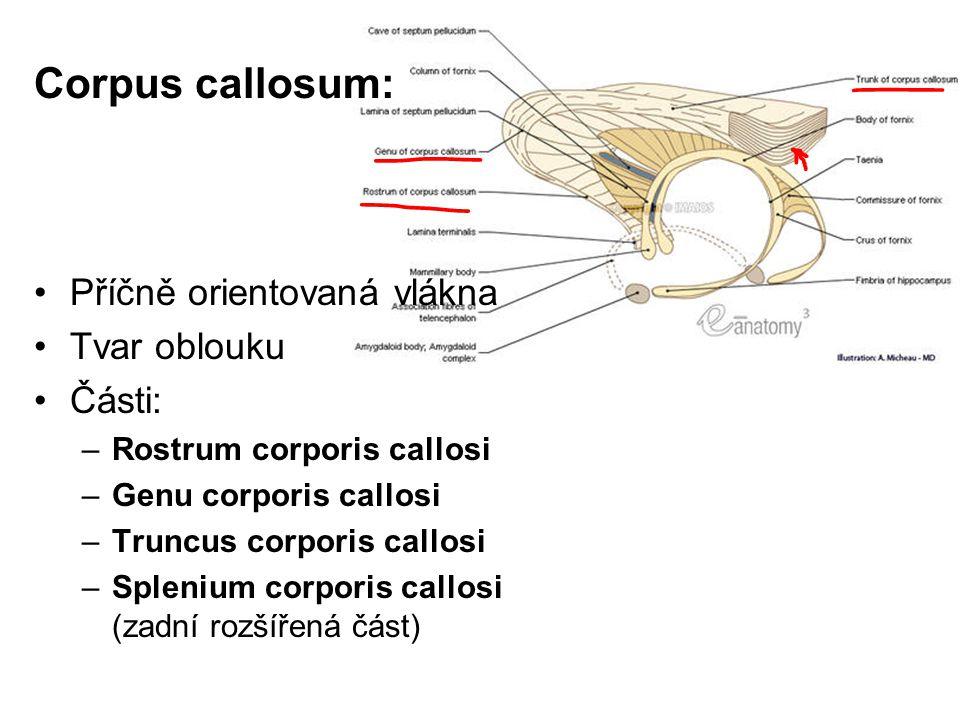 Corpus callosum: Příčně orientovaná vlákna Tvar oblouku Části: