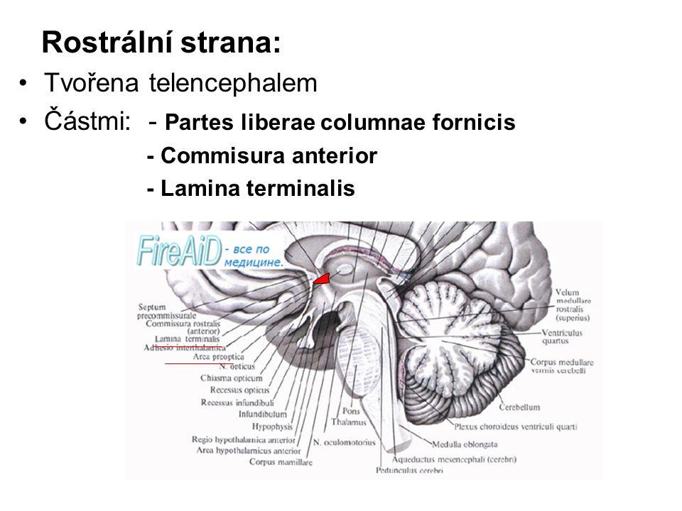 Rostrální strana: Tvořena telencephalem