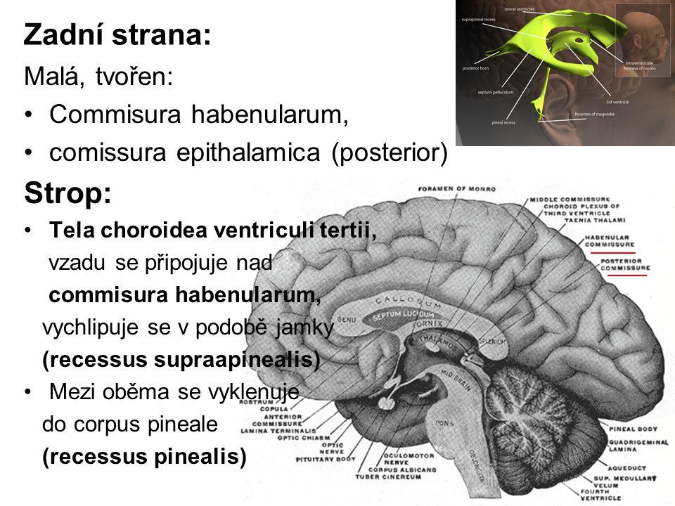 Zadní strana: Strop: Malá, tvořen: Commisura habenularum,