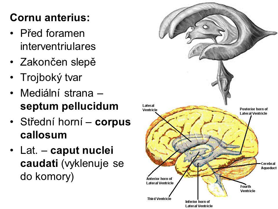 Cornu anterius: Před foramen interventriulares. Zakončen slepě. Trojboký tvar. Mediální strana –septum pellucidum.