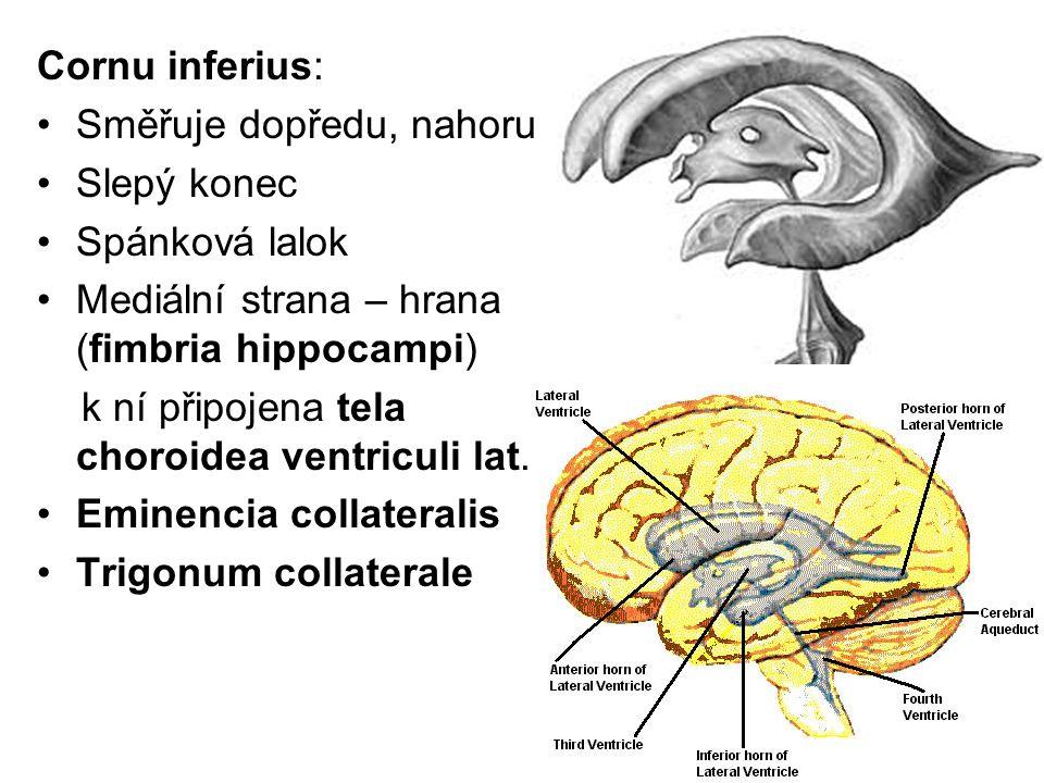 Cornu inferius: Směřuje dopředu, nahoru. Slepý konec. Spánková lalok. Mediální strana – hrana (fimbria hippocampi)