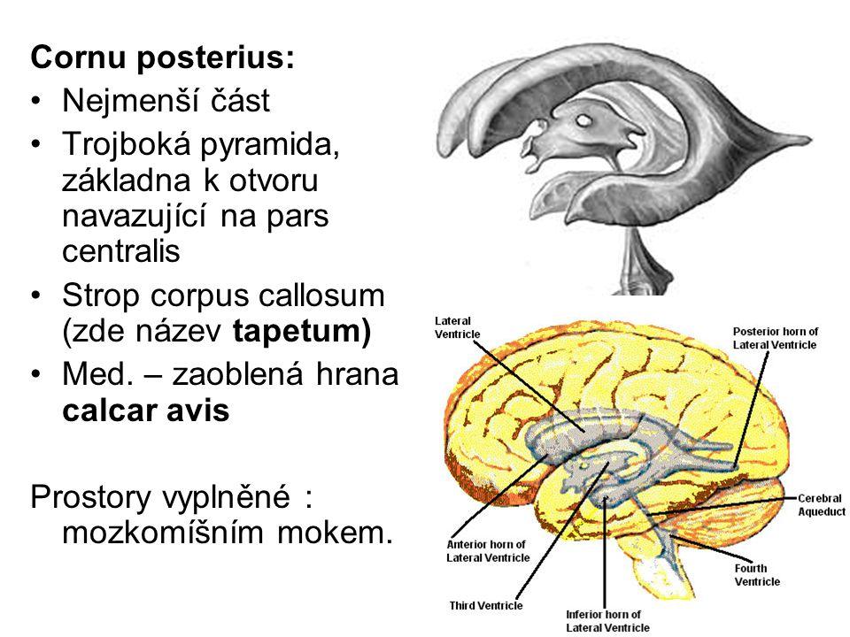 Cornu posterius: Nejmenší část. Trojboká pyramida, základna k otvoru navazující na pars centralis.