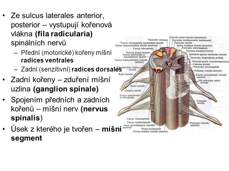 Zadní kořeny – zduření míšní uzlina (ganglion spinale)