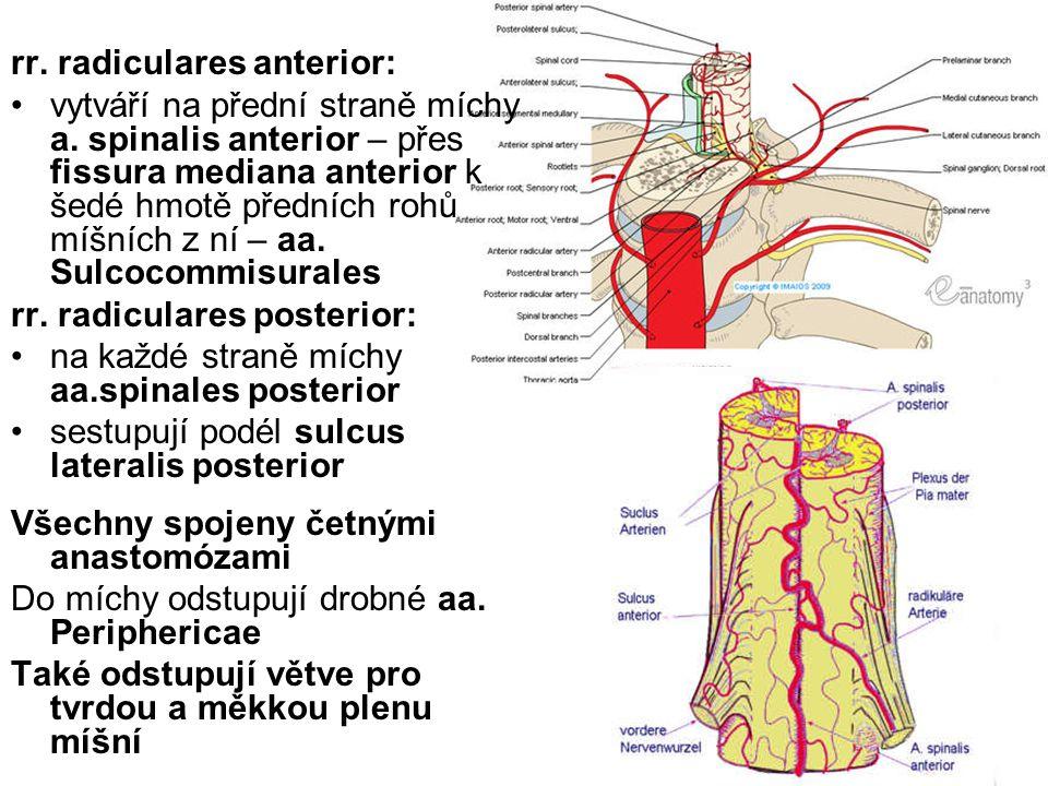 rr. radiculares anterior: