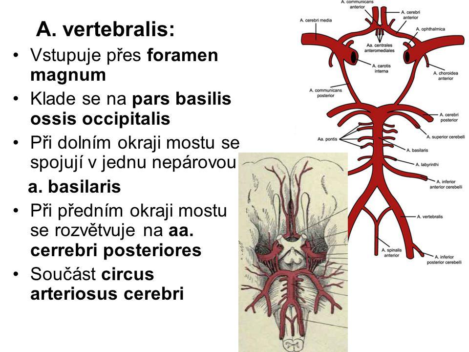 A. vertebralis: Vstupuje přes foramen magnum