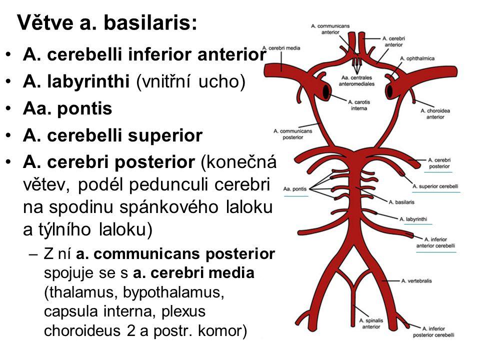 Větve a. basilaris: A. cerebelli inferior anterior