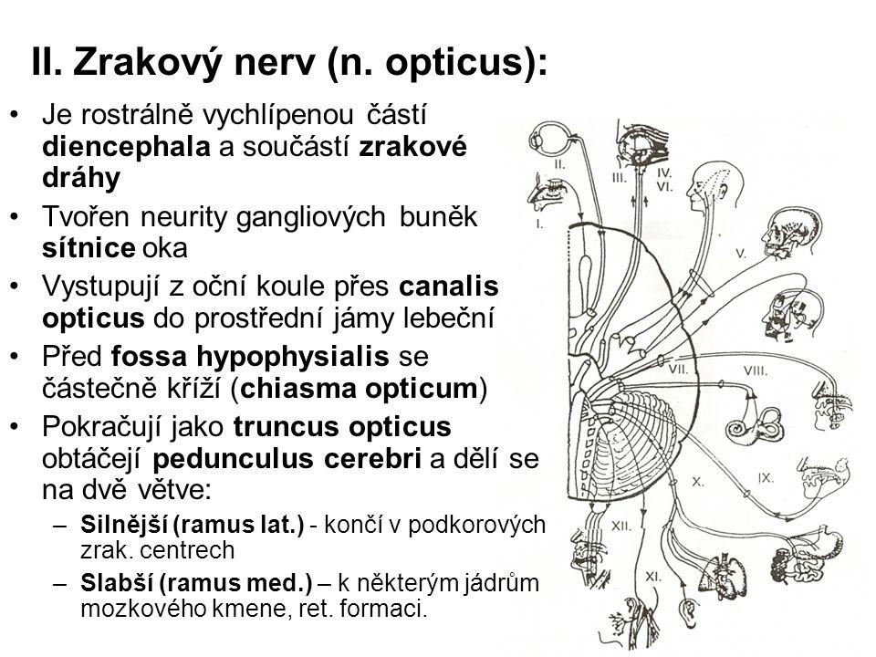 II. Zrakový nerv (n. opticus):