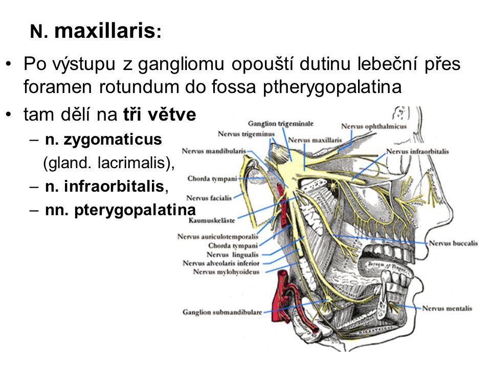 N. maxillaris: Po výstupu z gangliomu opouští dutinu lebeční přes foramen rotundum do fossa ptherygopalatina.
