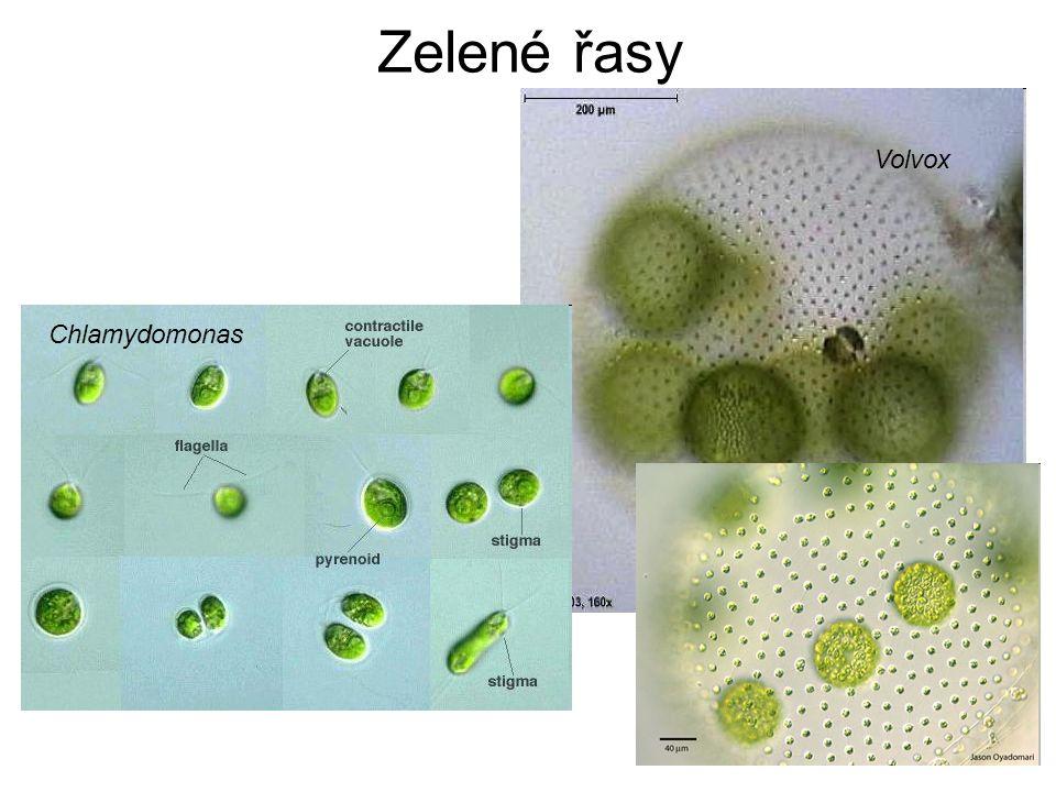 Zelené řasy Volvox Chlamydomonas