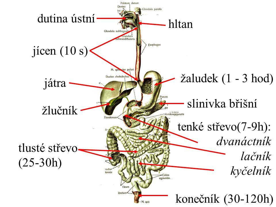 dutina ústní hltan. jícen (10 s) žaludek (1 - 3 hod) játra. slinivka břišní. žlučník. žlučník.