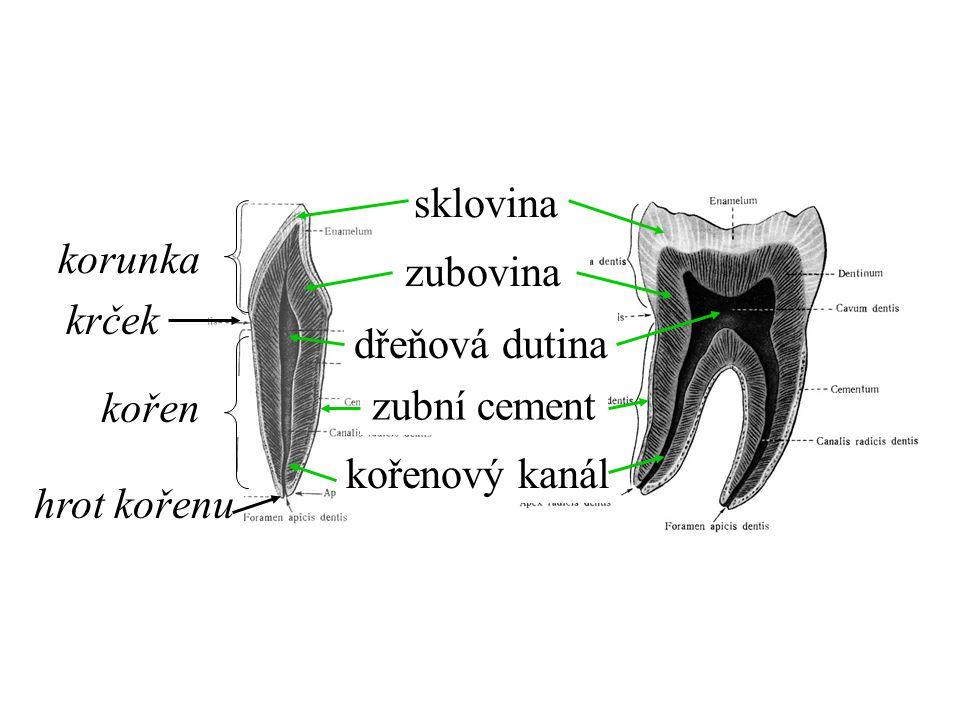 sklovina korunka zubovina krček dřeňová dutina kořen zubní cement kořenový kanál hrot kořenu