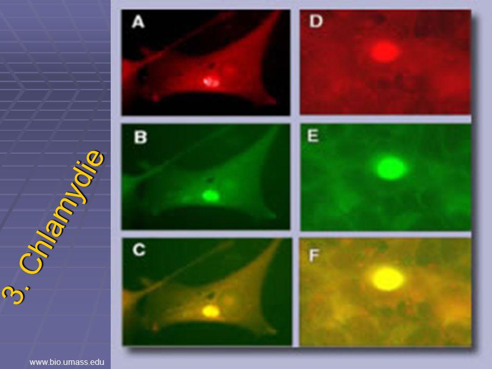 3. Chlamydie www.bio.umass.edu