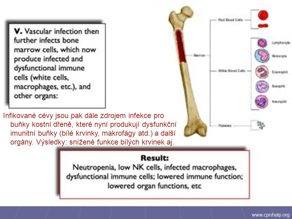 Infikované cévy jsou pak dále zdrojem infekce pro buňky kostní dřeně, které nyní produkují dysfunkční imunitní buňky (bílé krvinky, makrofágy atd.) a další orgány. Výsledky: snížené funkce bílých krvinek aj.