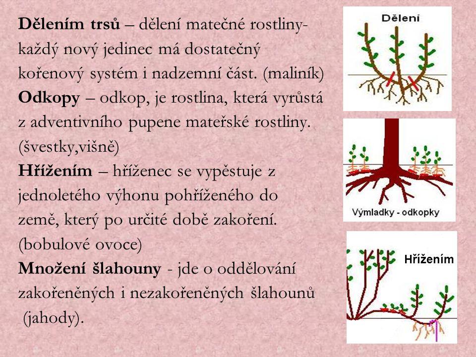 Dělením trsů – dělení matečné rostliny-
