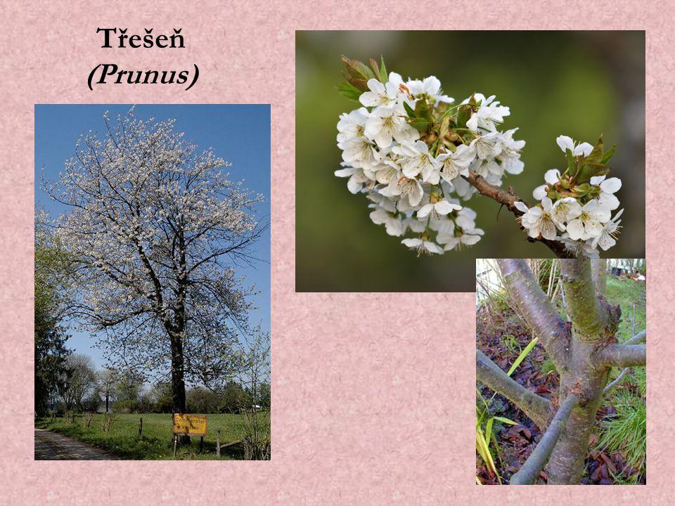 Třešeň (Prunus)
