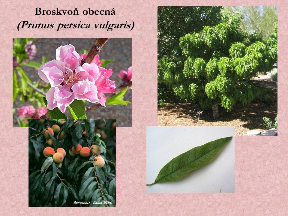 Broskvoň obecná (Prunus persica vulgaris)