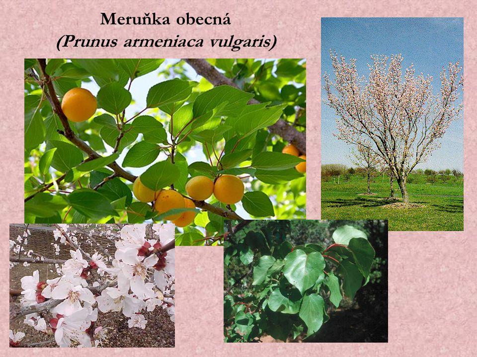Meruňka obecná (Prunus armeniaca vulgaris)