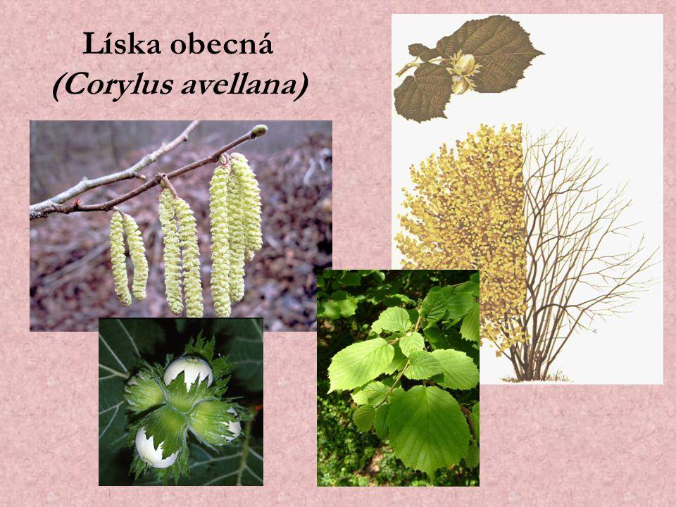 Líska obecná (Corylus avellana)