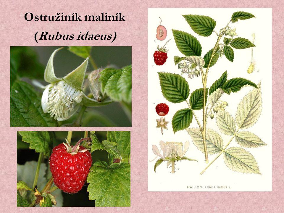 Ostružiník maliník (Rubus idaeus)