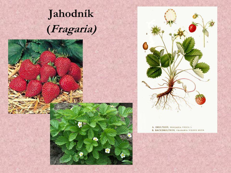 Jahodník (Fragaria)
