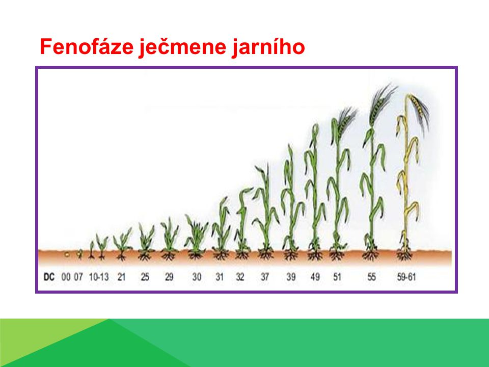 Fenofáze ječmene jarního